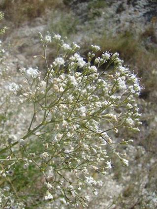 Albada (Gypsophila struthium hispanica)
