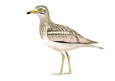 Alcaraván (Burhinus oedicnemus)