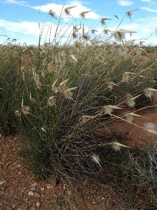 Albardín (Lygeum spartium)