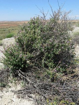 Asnallo (Ononis tridentata)