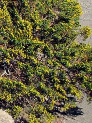 Jarilla (Helianthemum squamatum)